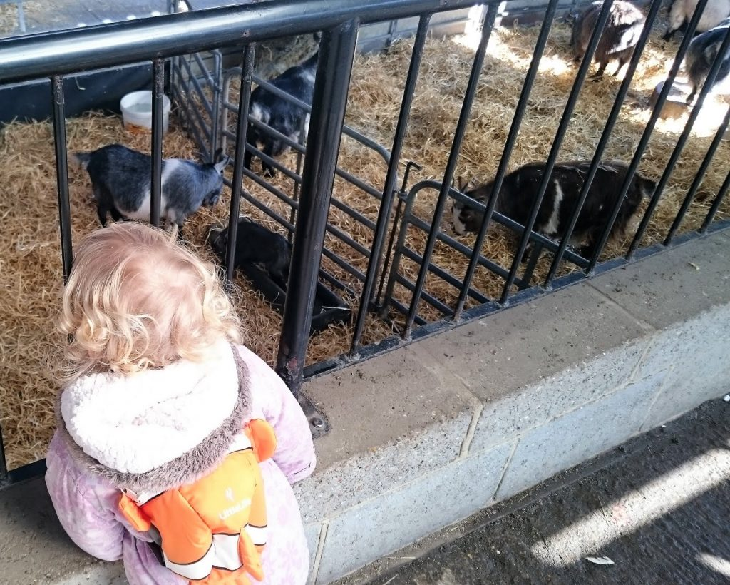 Toddler looking at pigs