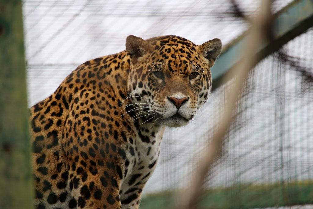 Leopard at Paradise Wildlife Park