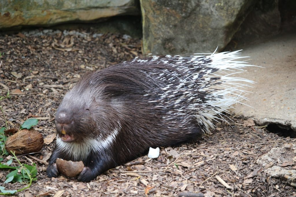 Porcupine - Drusillas Park zoo animals