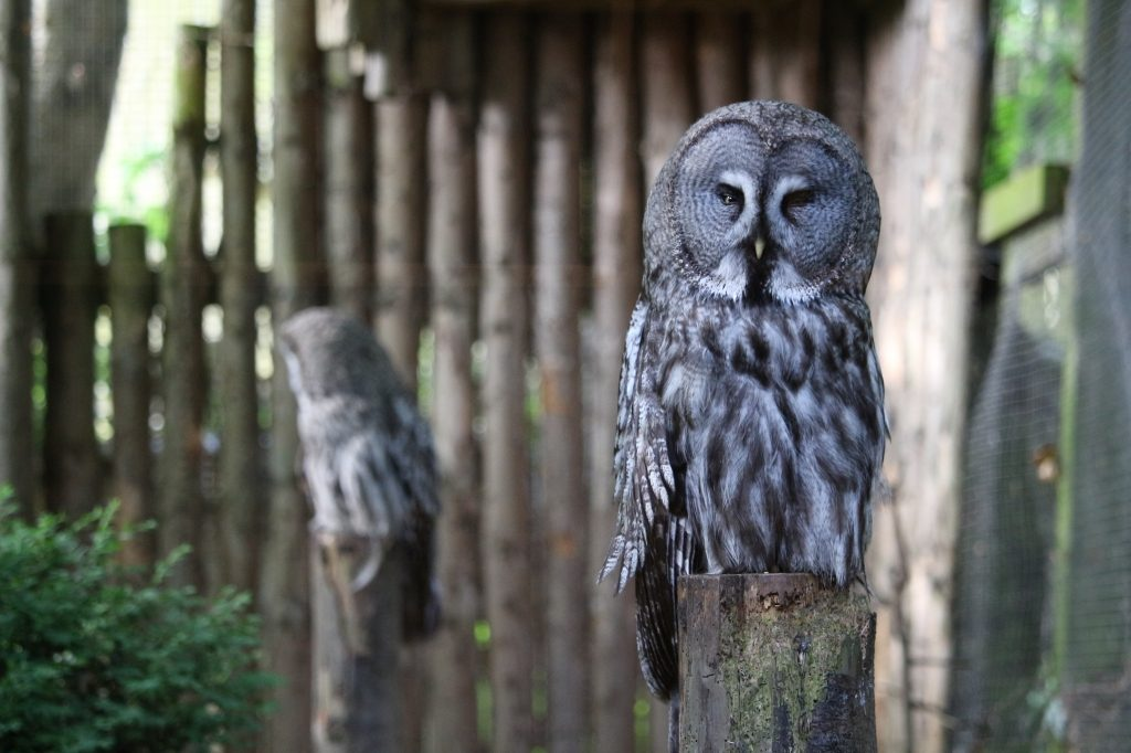 Great Grey Owls - Drusillas Park zoo animals