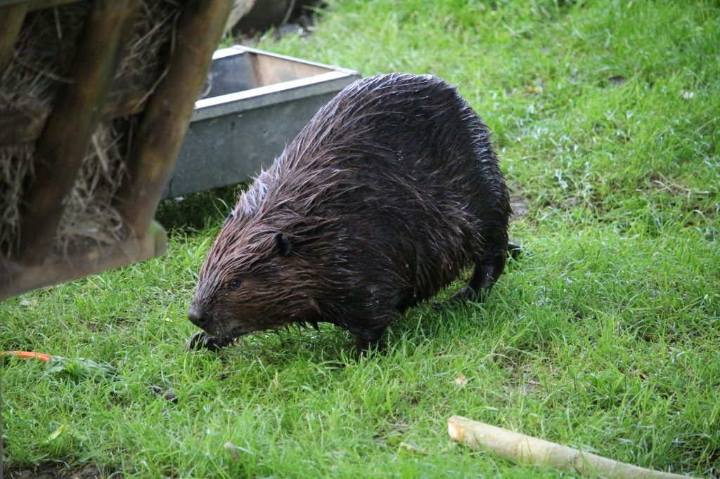 Beaver - Drusillas Park zoo animals