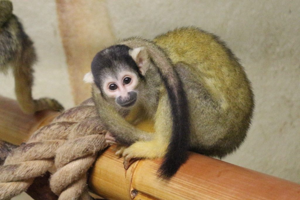 Squirrel Monkey - Drusillas Park zoo animals