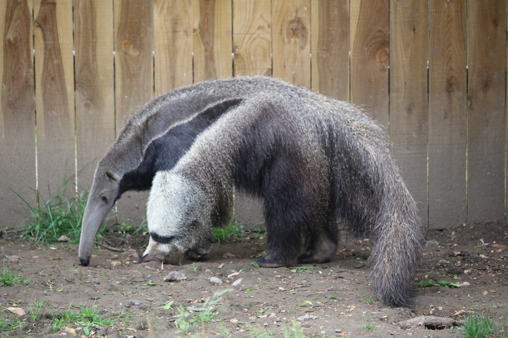 Giant Anteater - Drusillas Park zoo animals