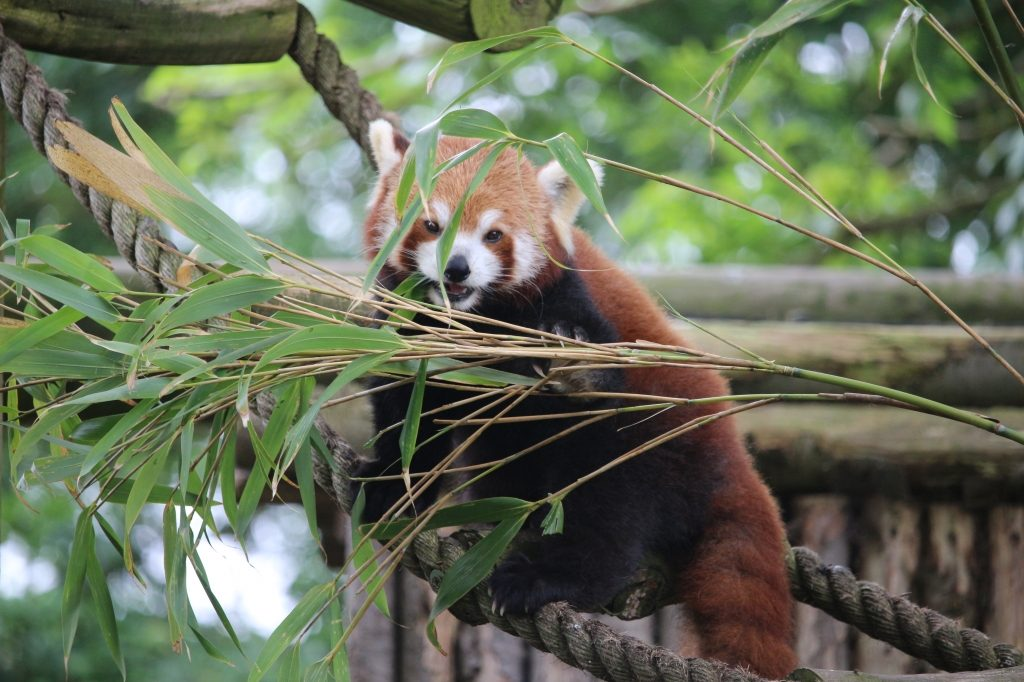 Red Panda - Drusillas Park zoo animals