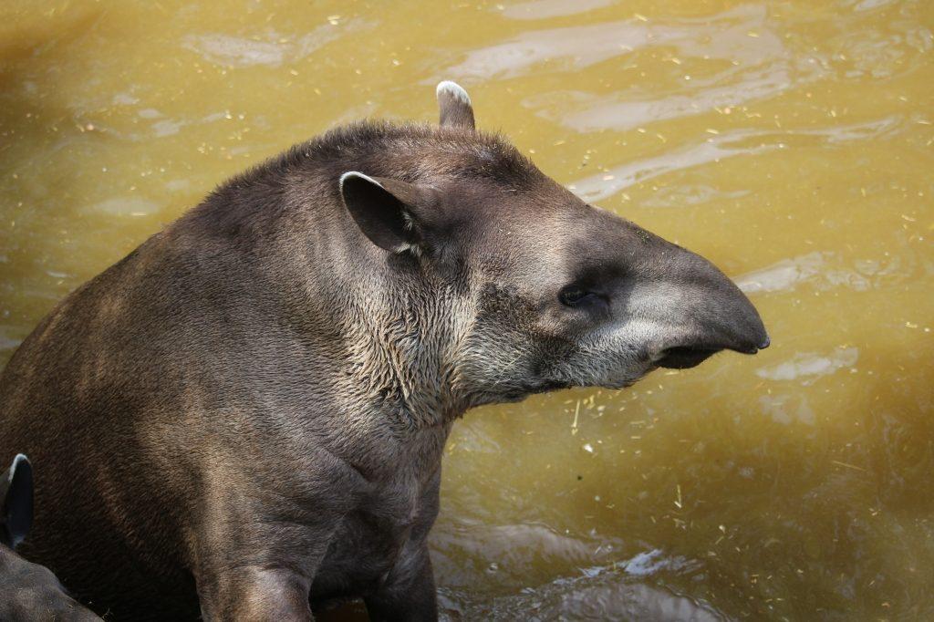 Tapir at Paradise Wildlife Park