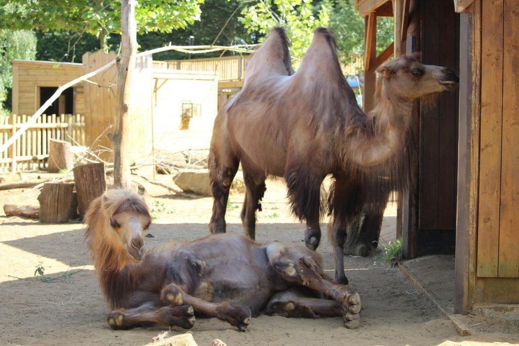 Camels at Paradise Wildlife Park