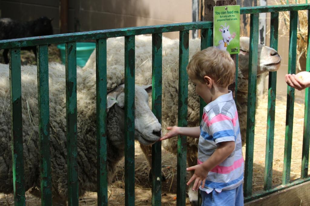 Feeding the sheep - Paradise Wildlife Park Broxbourne Hertfordshire (41)