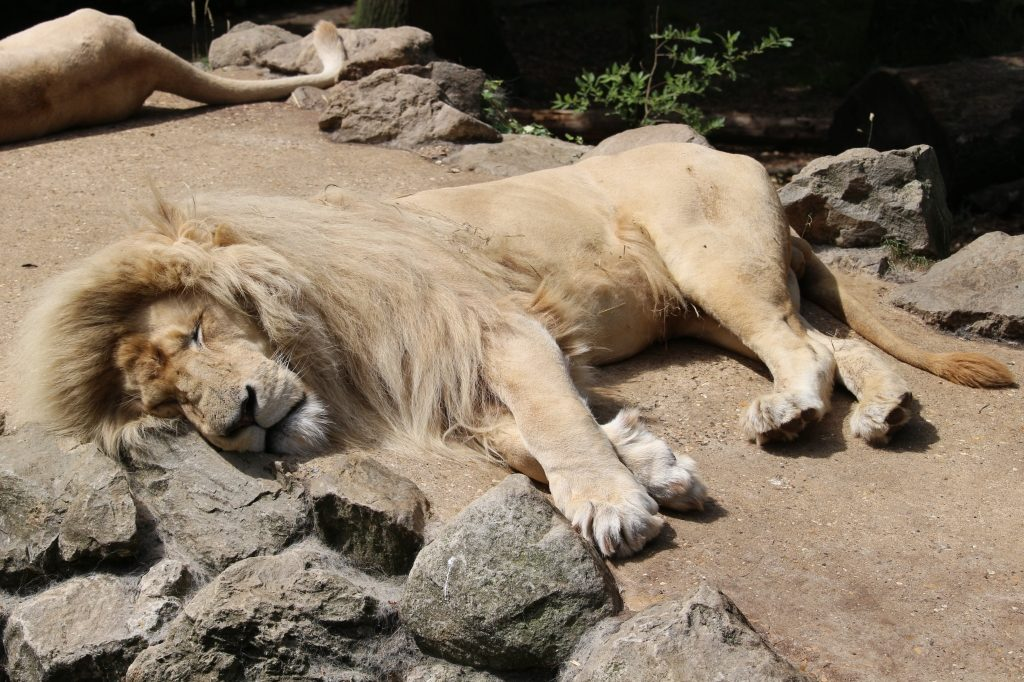 Lion at Paradise Wildlife Park