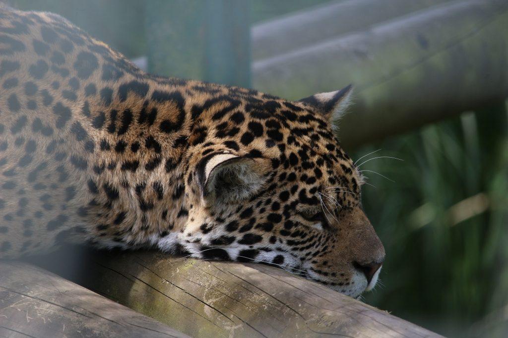 Leopard at Paradise Wildlife Park
