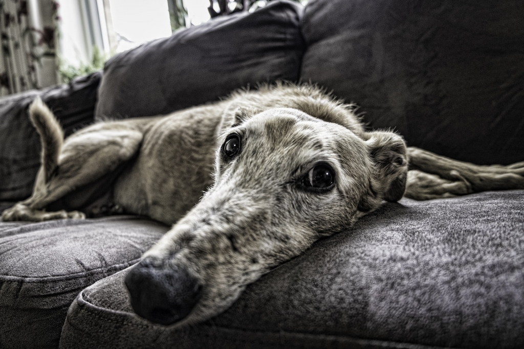 Old greyhound
