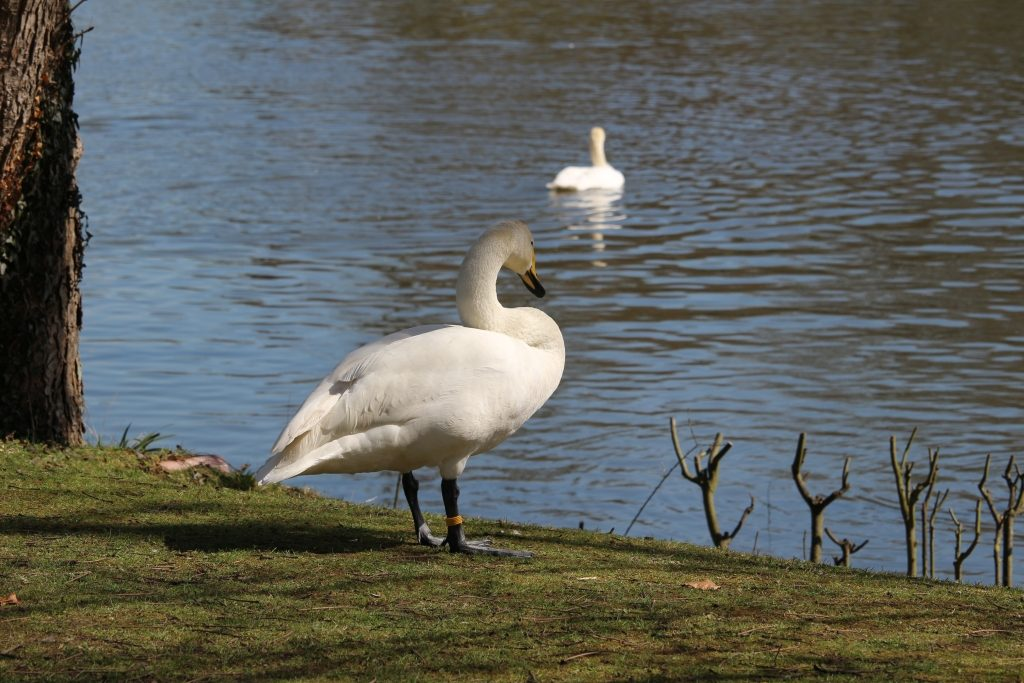 kyknophobia: A fear of swans, according to google